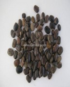 BLACK KAUNCH SEEDS, Velvet Bean, Mucuna Pruriens, Raw Whole Herbs of India